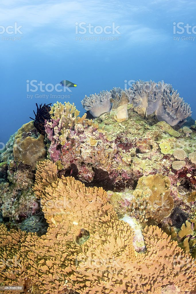 Hard and soft corals on a tropical coral reef royalty-free stock photo