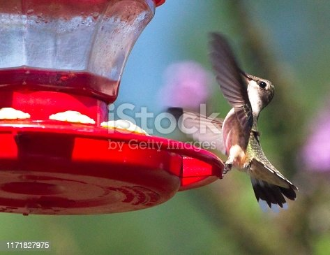 Hummingbird landing on a feeder and filling up.