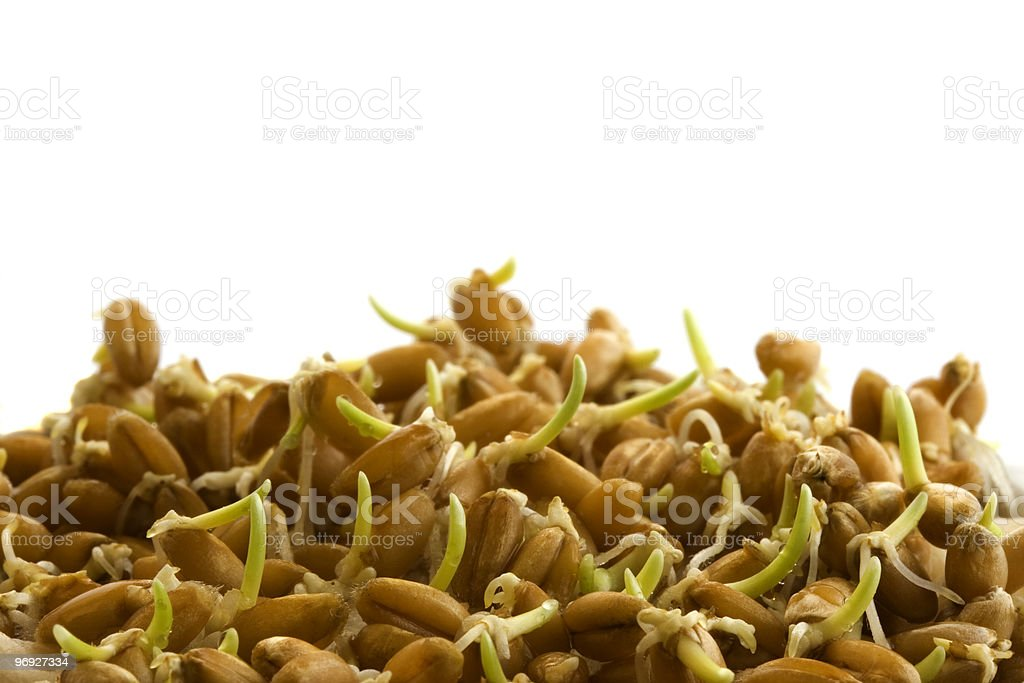 hard red winter wheat; sprouting, isolated royalty-free stock photo