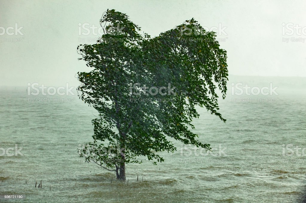 hard strom raining blowing mangrove tree in sea coast stock photo