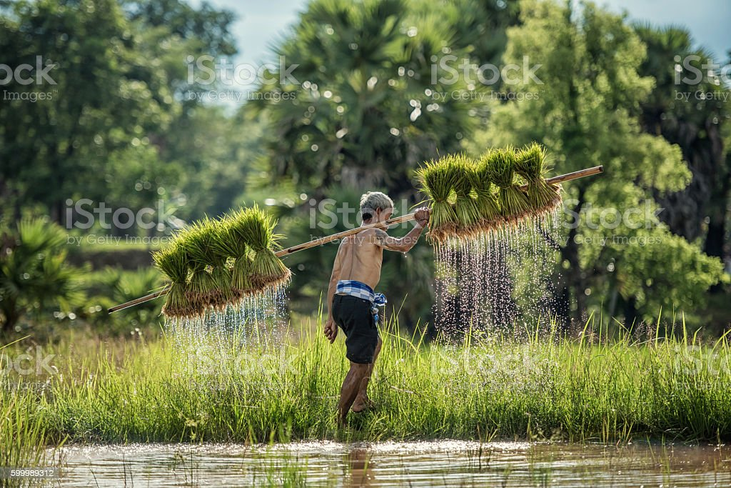 Hard Work Farmer in Rice green fields holding rice baby. They were...