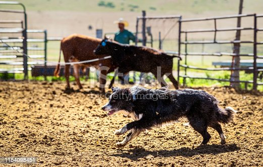 A collie dog working hard, running across a cattle corral in the US.