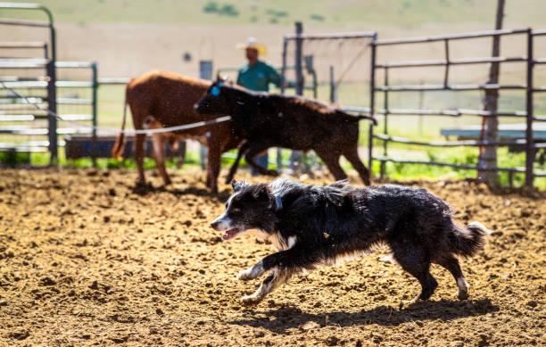 fleißige betriebshunde - dressierter hund stock-fotos und bilder