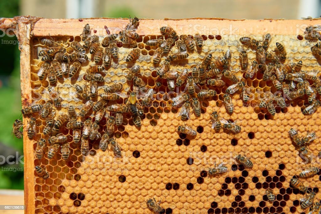 Hardworking bees on honeycomb and one wasp stock photo