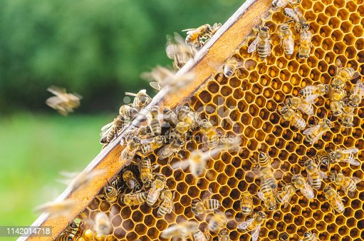 istock Hardworking honey bees on honeycomb in apiary in late summertime 1142014718
