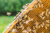 Hardworking honey bees on honeycomb in apiary in late summertime