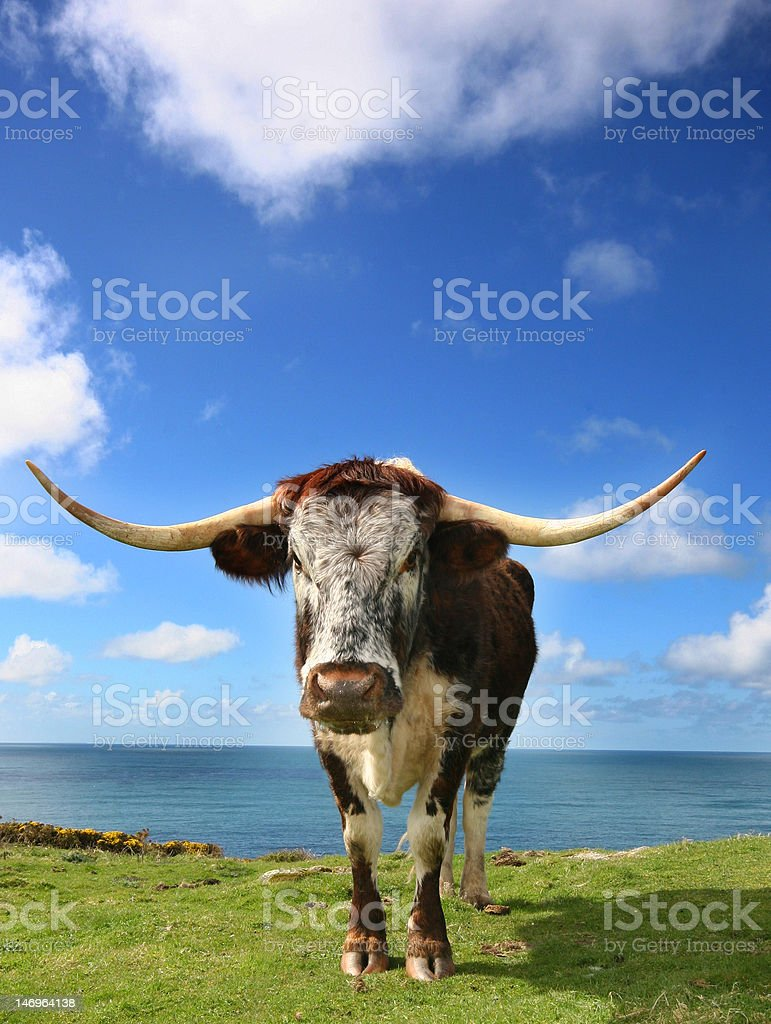 Hardy breed of Longhorn. royalty-free stock photo