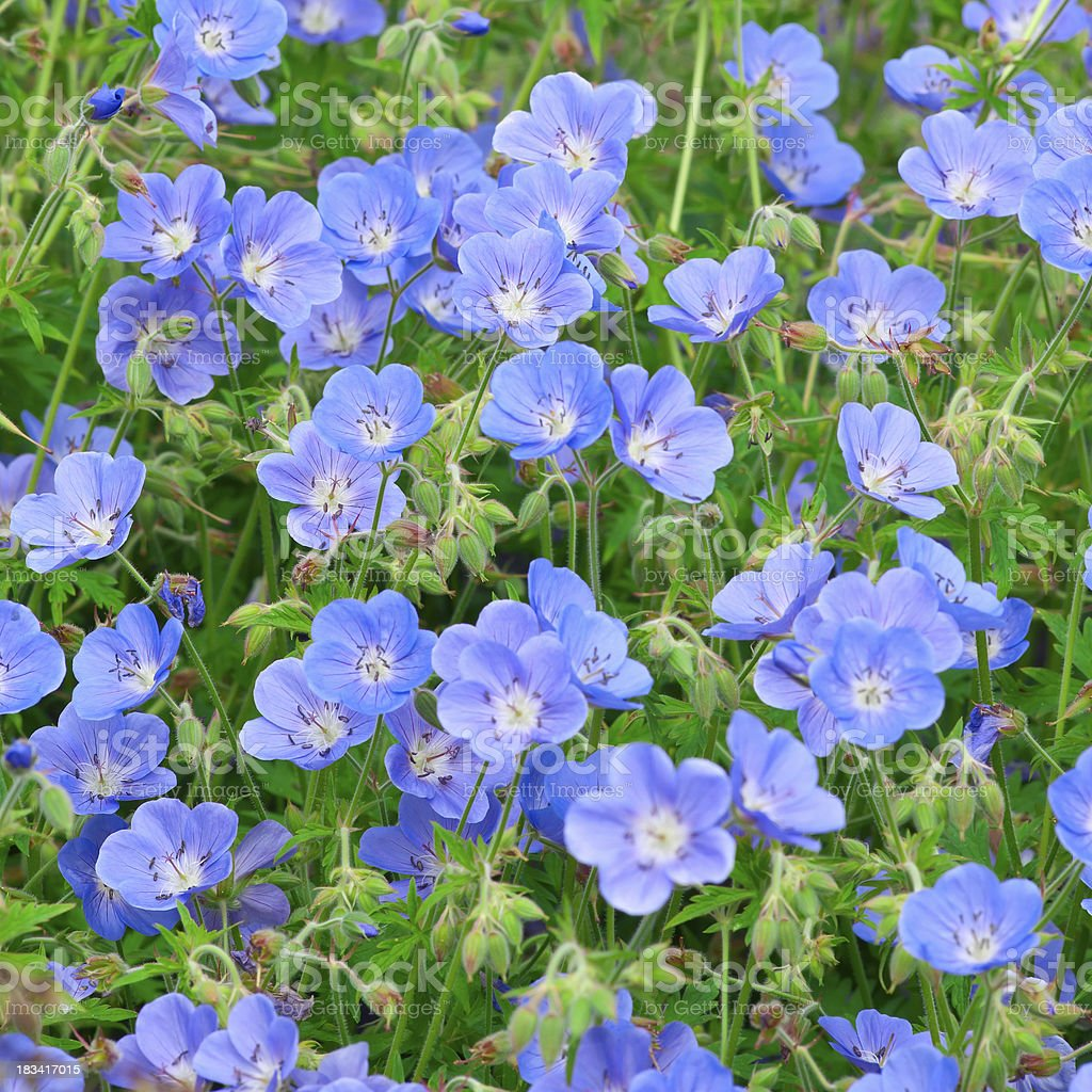 Hardy Geranium (Cranesbills) bunch - IV royalty-free stock photo