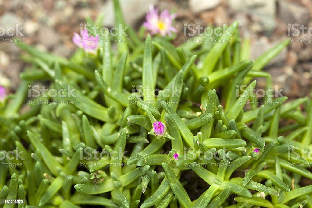 Hardy Ice Plant (Delosperma cooperi) stock photo