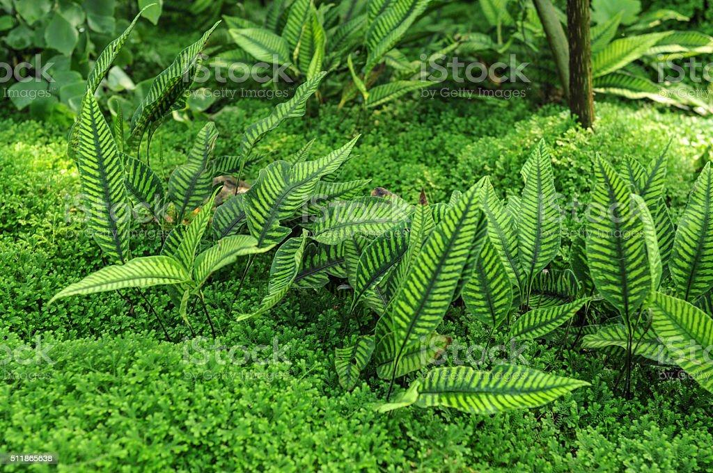 Hardy Varigated Fern [Neolepisorus ovatus] stock photo