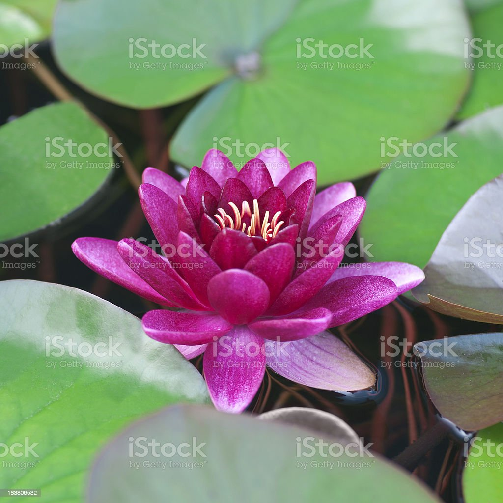Hardy Waterlily 'Almost Black' - V royalty-free stock photo