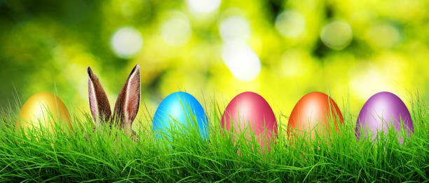 Hare ears and Easter eggs hide in a grass. stock photo