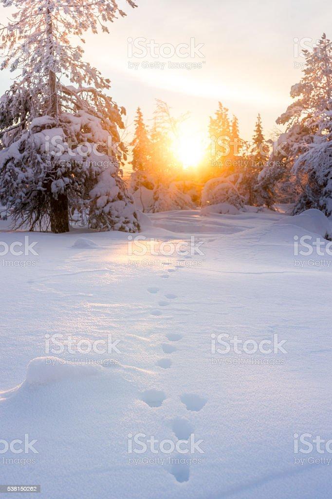 Hare footprint on snow. Sunrise in winter scenery. – Foto