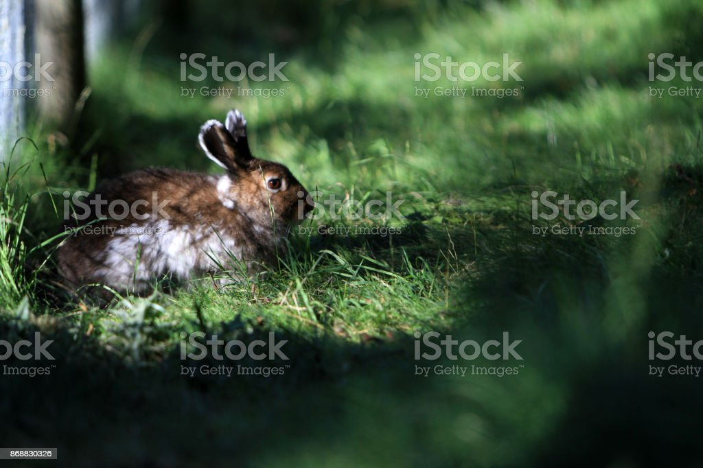 hare in Alps nature stock photo
