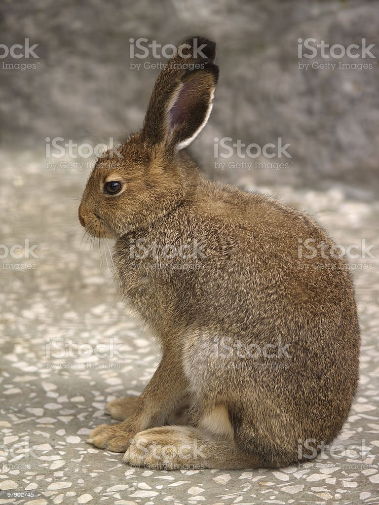 Hare in profile royalty-free stock photo