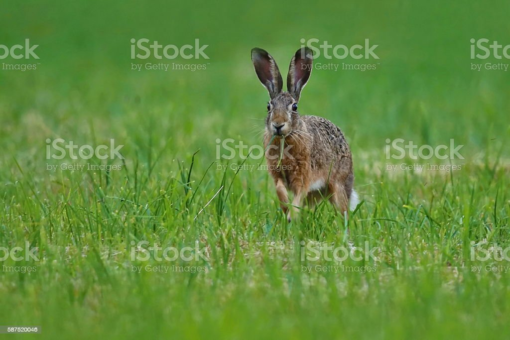 hare in the beautiful light on green grassland stock photo