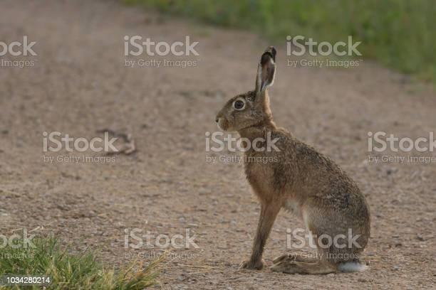 Hare picture id1034280214?b=1&k=6&m=1034280214&s=612x612&h=qrstkzqo5i2khz68opdehcc7hlfc7esoiyllqioiibk=