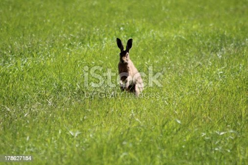 curious hare looking directly at the camera