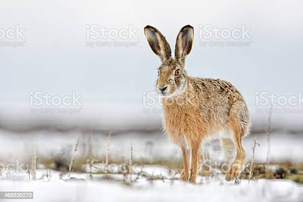 Hare picture id468335270?b=1&k=6&m=468335270&s=612x612&h=v0loem45wnpdiu yy25 5 w18y3jggqpl2tkpqru ow=