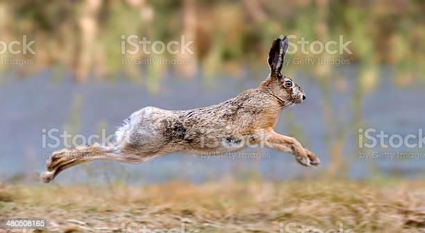 Hare picture id480508165?b=1&k=6&m=480508165&s=612x612&h=trgg nozht2nlnkcdrn3k4ejhqqidy0vxnim enydxk=
