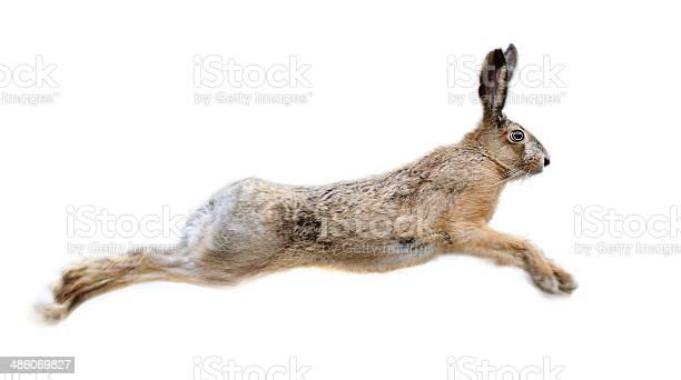 Hare picture id486069827?b=1&k=6&m=486069827&s=612x612&h=xnil00suizg 3fobdhd9jc6hhdtbyqln0dnwhudebdy=
