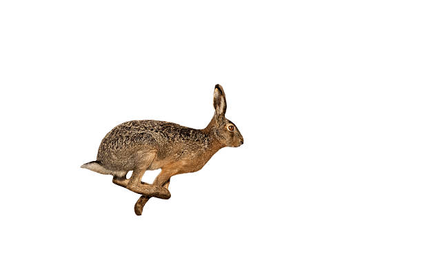 Hare (Lepus europaeus) stock photo