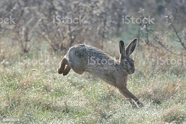Hare picture id508626078?b=1&k=6&m=508626078&s=612x612&h=ucfozxzqsznh3h0bwpsdwqeyrr yae3omjkoomhkkkw=