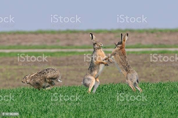 Hare picture id516190385?b=1&k=6&m=516190385&s=612x612&h=hnu3ydseeinb twhjub k3vb2mi fpuqueqxhwls1oi=