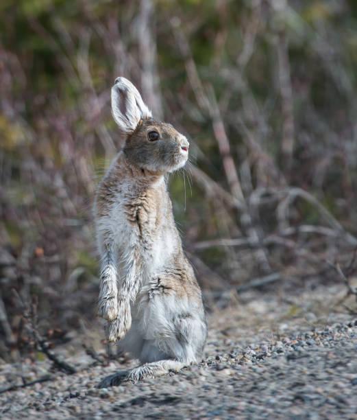 hare - schneeschuhhase stock-fotos und bilder