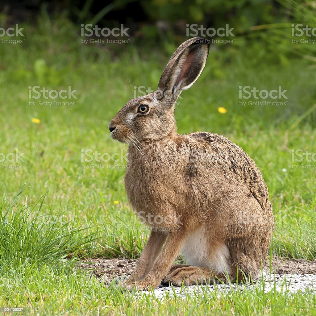 Hare Profile stock photo
