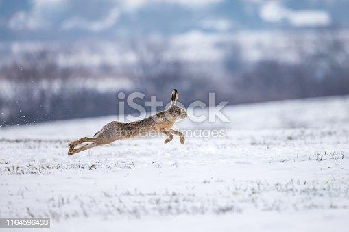istock Hare runnig on snowy field 1164596433