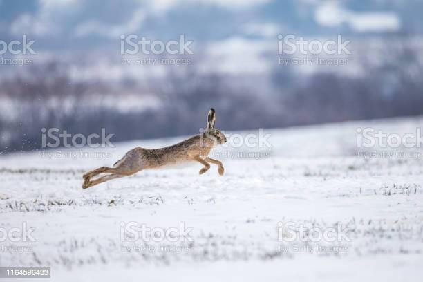 Hare runnig on snowy field picture id1164596433?b=1&k=6&m=1164596433&s=612x612&h=zvbs8kaan07bcpbytasr2v ermm4ypwfid86gpjtusu=