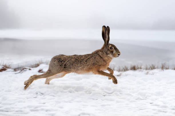 Hare running in the field stock photo