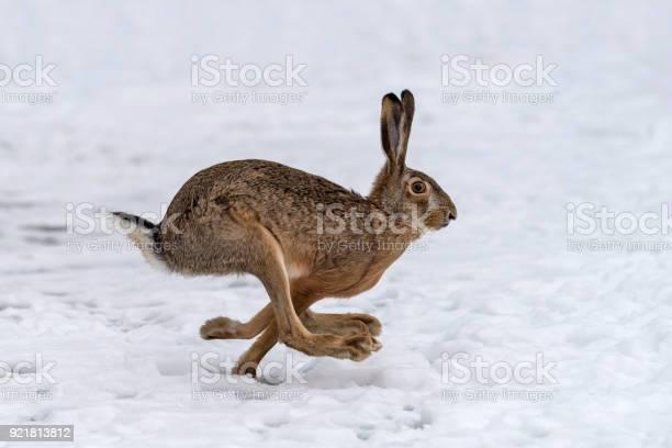 Hare running in the field picture id921813812?b=1&k=6&m=921813812&s=612x612&h=1nrst5vum1koo4qoixgj mysy81stop93 ipyd7xiy0=