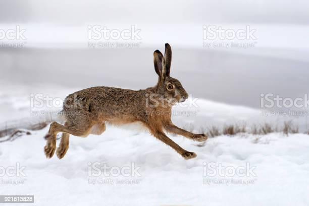 Hare running in the field picture id921813828?b=1&k=6&m=921813828&s=612x612&h=06rb2srsmvzh3lan hkkfdlfmywuygwts3odhjvhmqs=