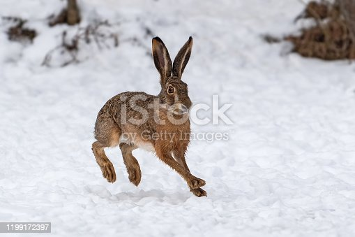 istock Hare running in the winter field 1199172397