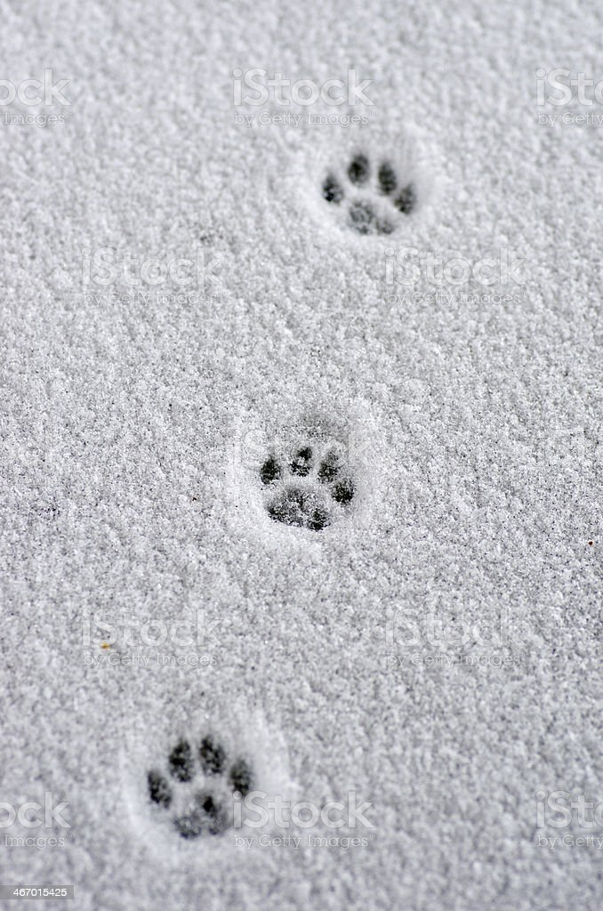 Hare trace on a fresh snow stock photo
