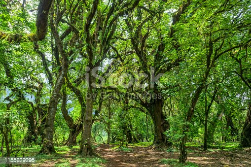 Harenna Forest, located in a highland region of the Bale Mountains. One of the few remaining natural forests in the country. Oromia Region, Ethiopia wilderness