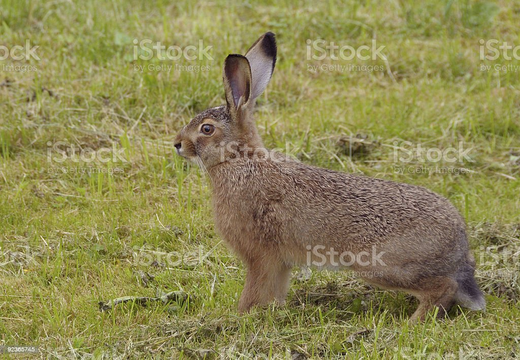 hare`s left profile royalty-free stock photo