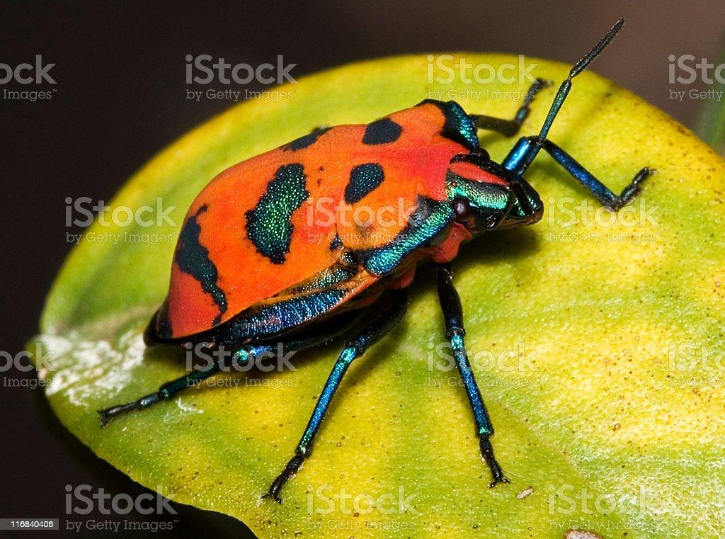 harlequin beetle royalty-free stock photo