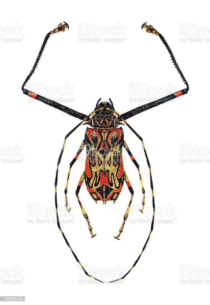 Harlequin Beetle stock photo
