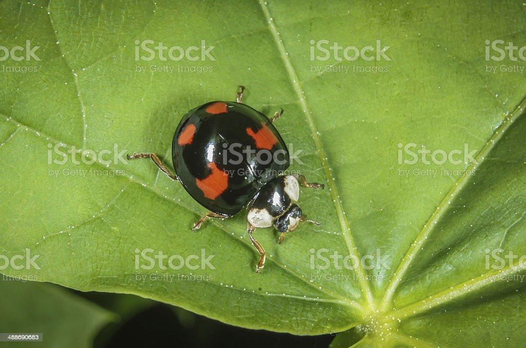 Harlequin Bug stock photo