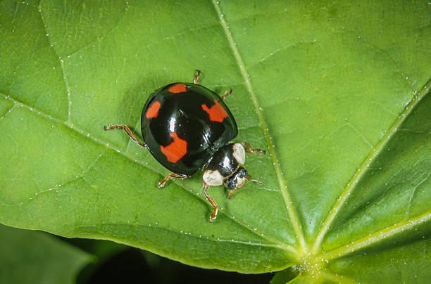 Escarabajo arlequín - foto de stock