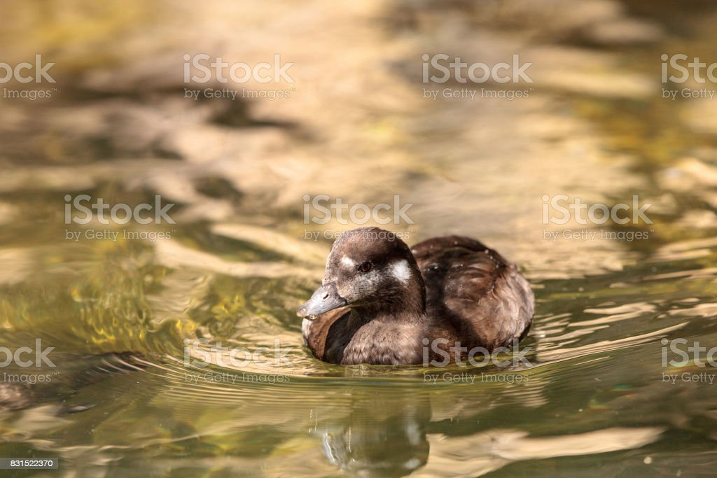 Harlequin duck called Histrionicus histrionicus stock photo