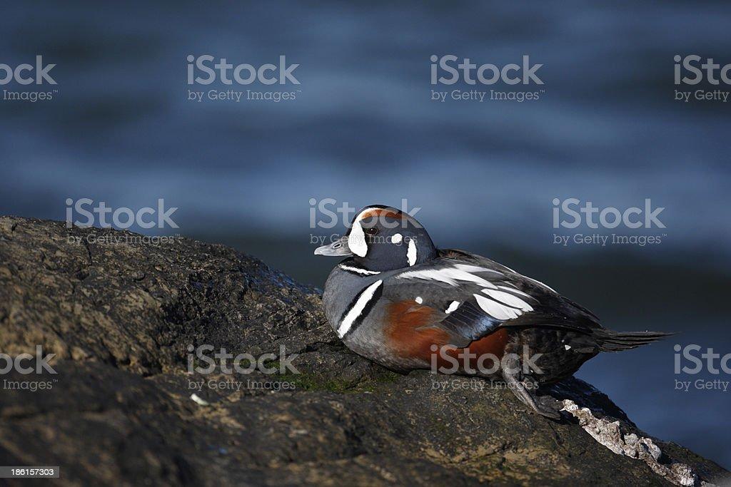 Harlequin duck, Histrionicus histrionicu stock photo