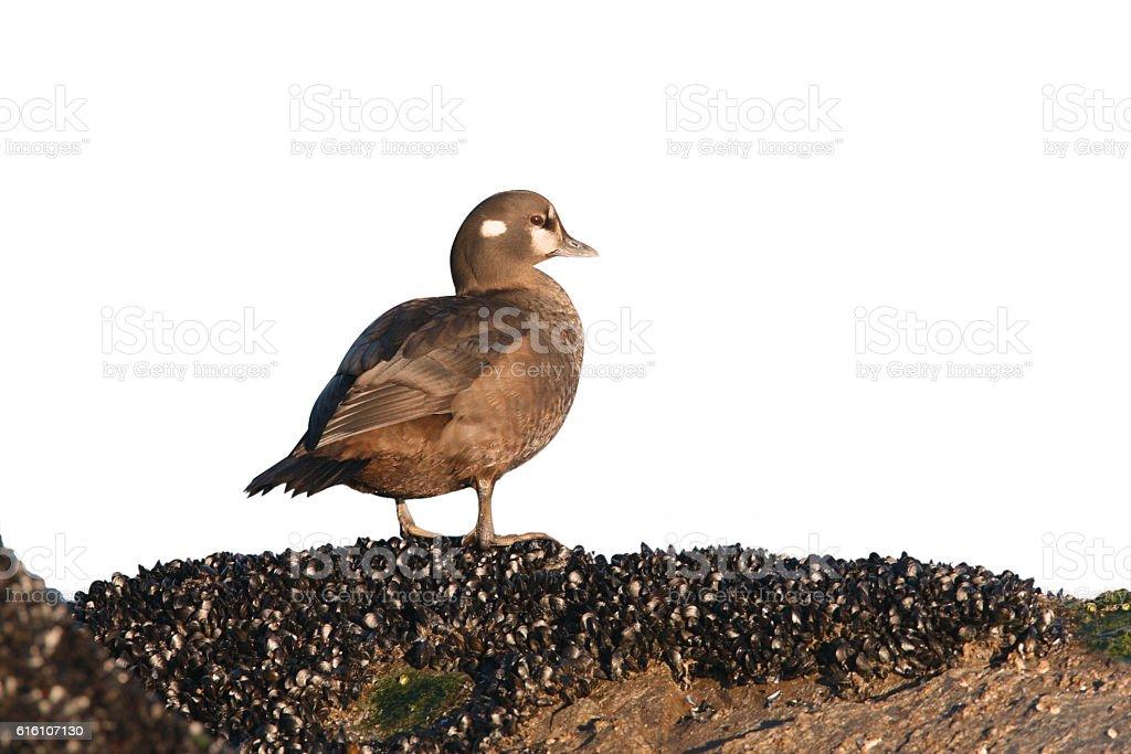 Harlequin duck, Histrionicus histrionicus, stock photo