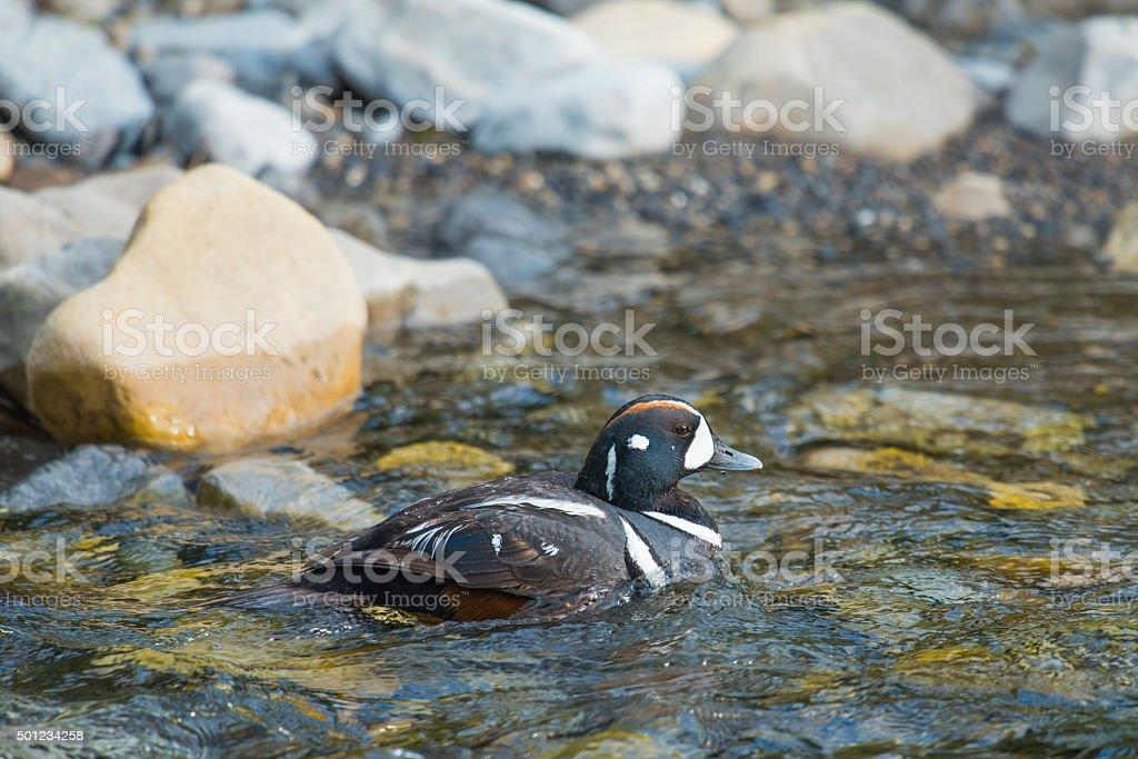 Harlequin Duck (Histrionicus histrionicus) stock photo