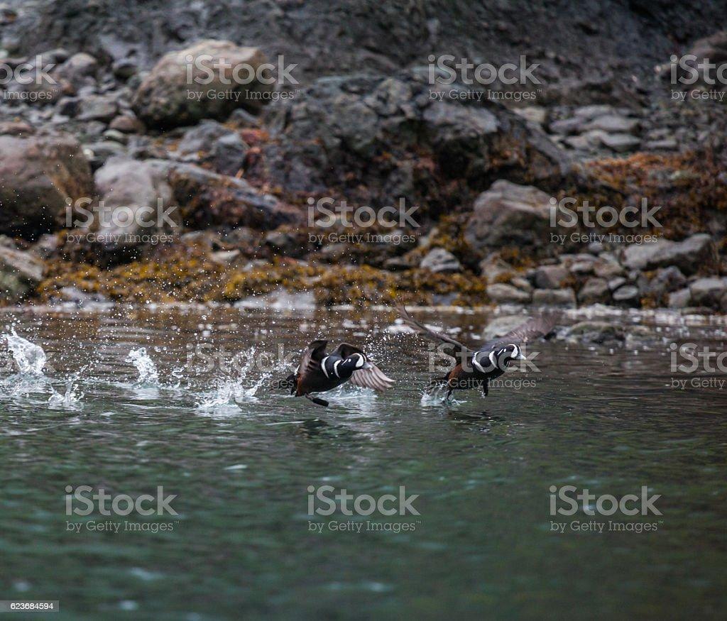 Harlequin Duck stock photo