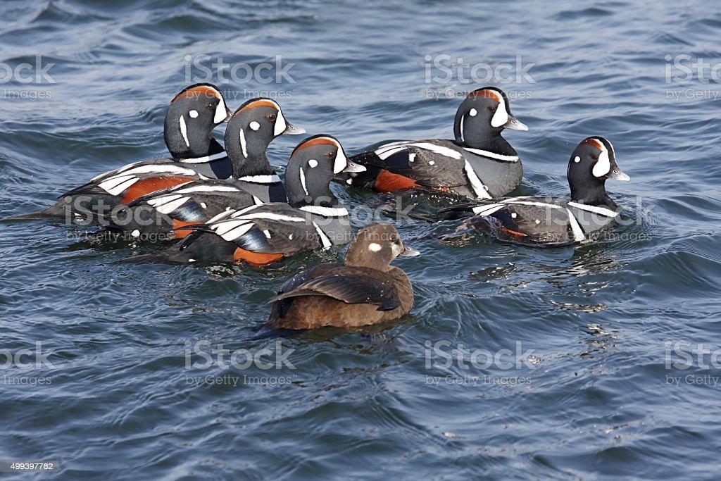 Harlequin Ducks stock photo