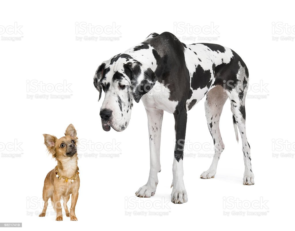 Harlequin Great Dane (4 years) and Chihuahua stock photo